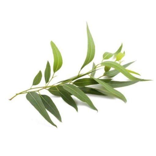 Feuilles Eucalyptus Bio Parenthese Café